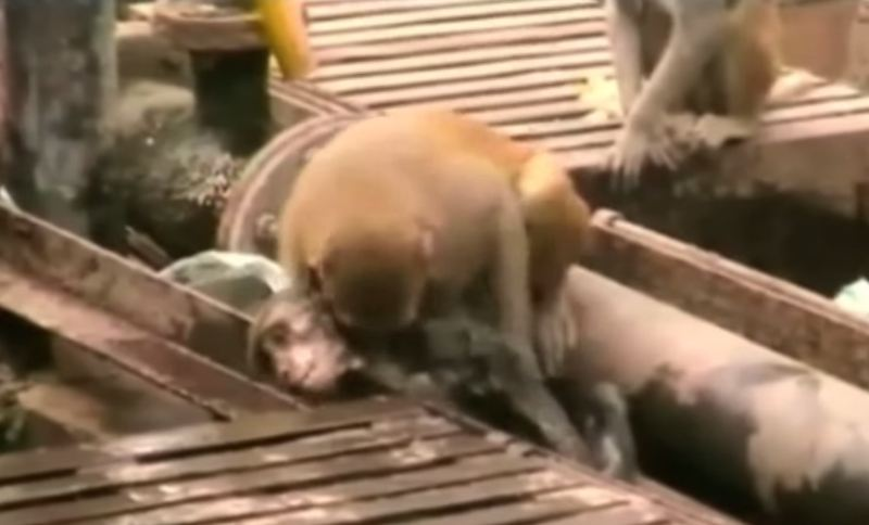 meaning of life: heroic monkey save his friends life who was electrocuted at the local train station.